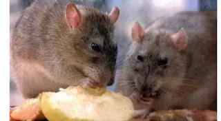 Lassa Fever: Death Toll Rises To 41, Spreads To 19 States As FG Urges Nigerians Not To Panic About Coronavirus